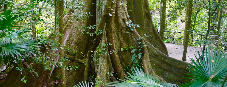 Minnamurra Rainforest – Holzstege, Urwaldriesen, Wasserfälle & Zauberwald Erlebnis !