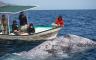 Baja California – Whale Watching: Grauwale spielen mit dir in freier Wildbahn!
