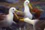 Española Island – Wo Galapagos Albatrosse das Fliegen lernen!