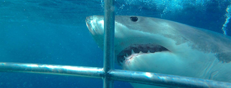 Tauchen mit Weißen Haien – Adventure Bay Charters: AC/DC & Rockmusik statt Blut & Fressköder!