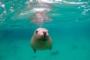 Schnorcheln mit Australischen Seelöwen – Lass dich verzaubern von ihrer Verspieltheit & Neugier!