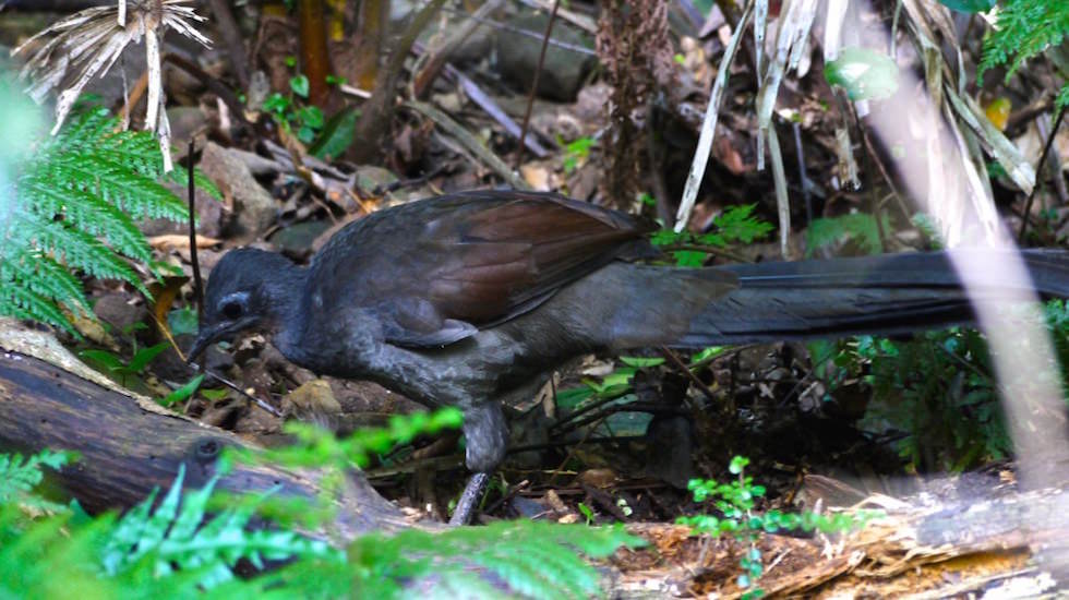 Minnamurra-Rainforest-Lyrebird