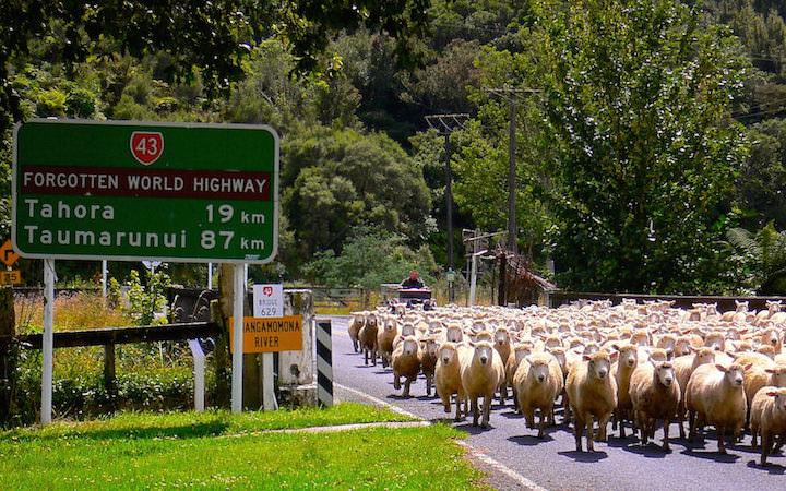Schafherde Whangamomona - Forgotten World Highway - Neuseeland Nordinsel