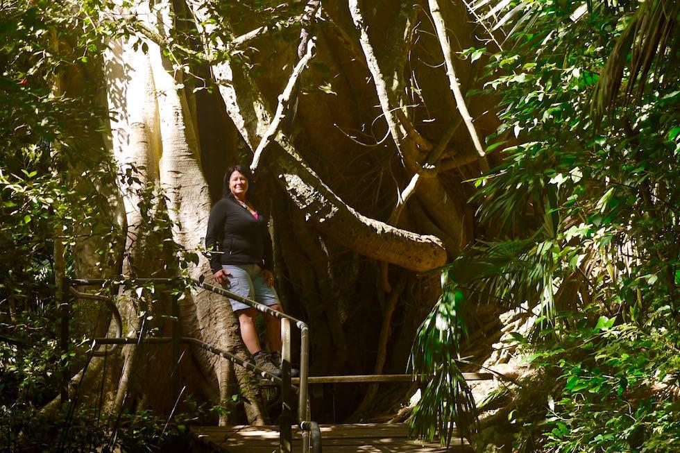 Größenvergleich: Riesenwurzeln - Minnamurra Rainforest bei Jamberoo - New South Wales