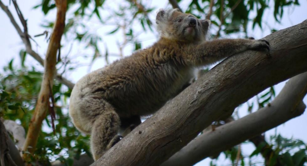 Cape-Otway-Koala-2-1024x555