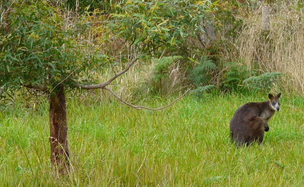 Cape-Otway-Wallaby