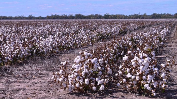 Cotton Fields in Australias Outback