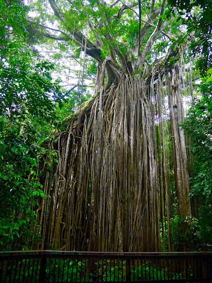 Größter Baum in Queensland: Curtain Fig Tree - Atheron Tablelands - Queensland