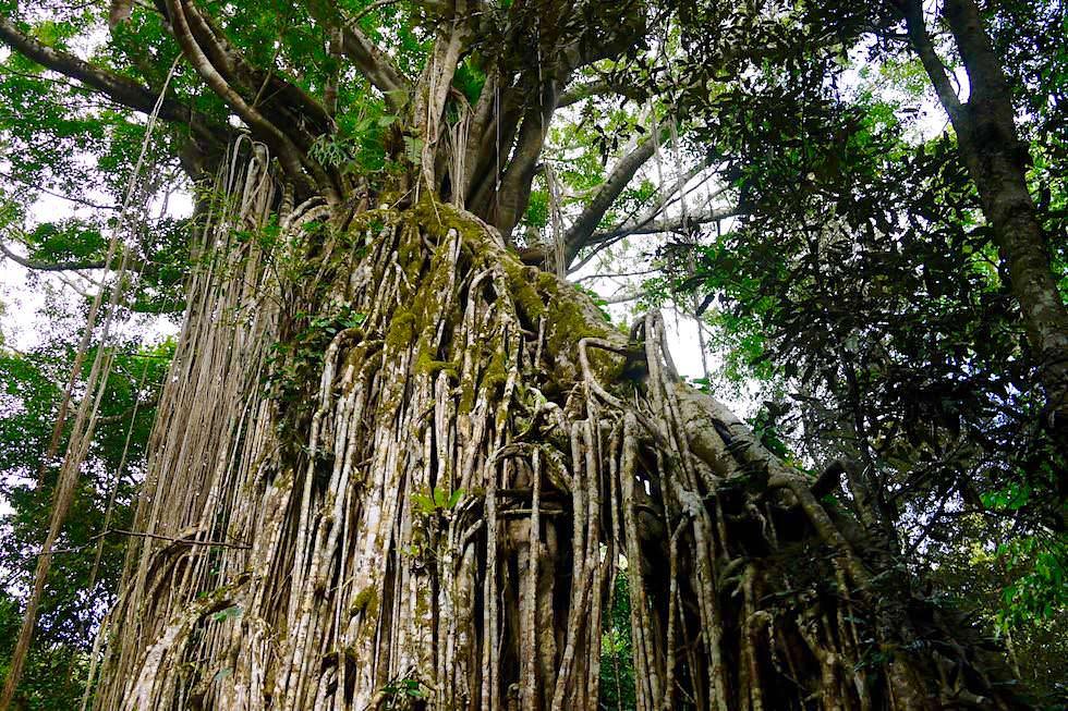 Überwältigend schöner & riesiger Curtain Fig Tree - Atherton Tablelands - Queensland