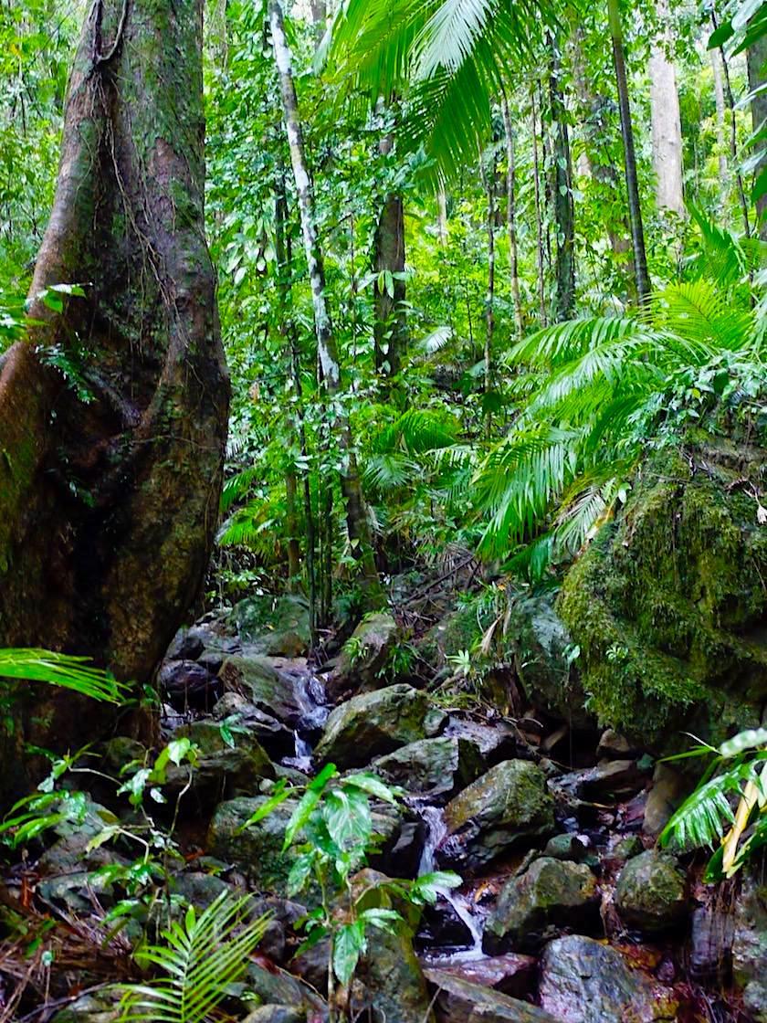 Daintree National Park - Wanderungen führen auf Rundwegen durch den Regenwald - Queensland