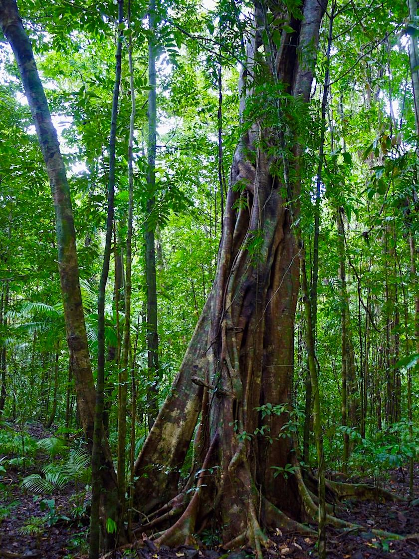 Daintree Rainforest Wanderung - Strangler Fig oder Würgefeige - Queensland