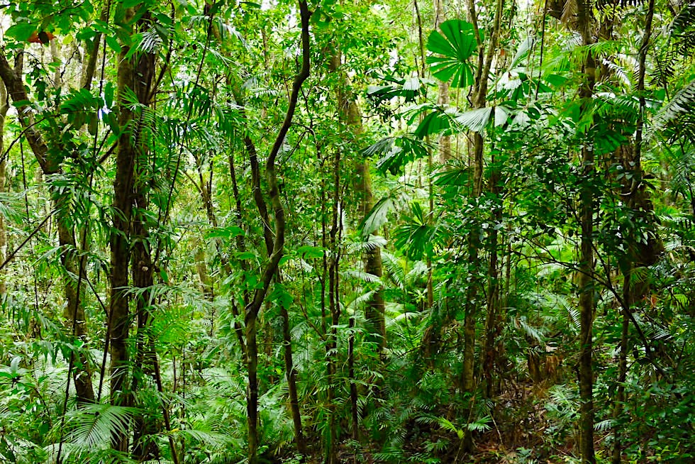 Daintree Rainforest Walk: Wo geht es hier denn weiter? - Daintree National Park - Queensland