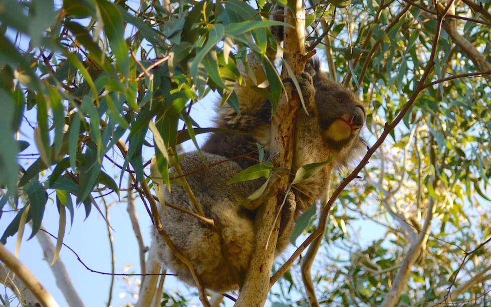 Kennett-River-Koala-2
