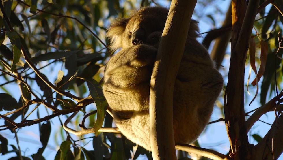 Kennett-River-Koala-4