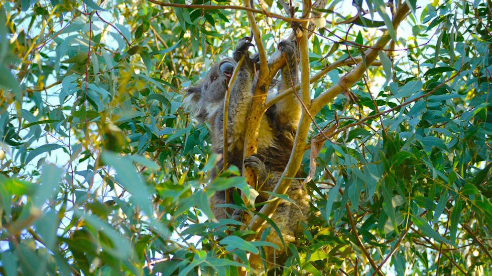 Kennett-River-Koala