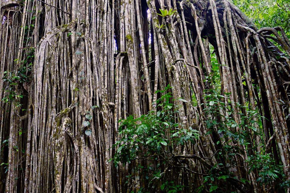 Luftwurzeln - Curtain Fig Tree oder Vorhang-Würgefeige - Yungaburra National Park in Atherton Tablelands - Queensland