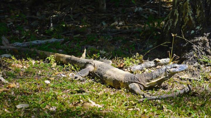 Australian Lace Monitor Lizard