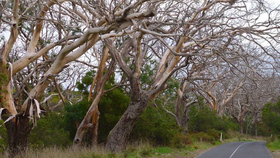 Nacked Trees Cape Otway NP