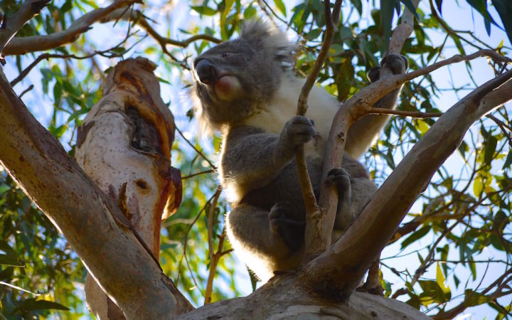 Koalas at Cape Otway National Park on Great Ocean Road
