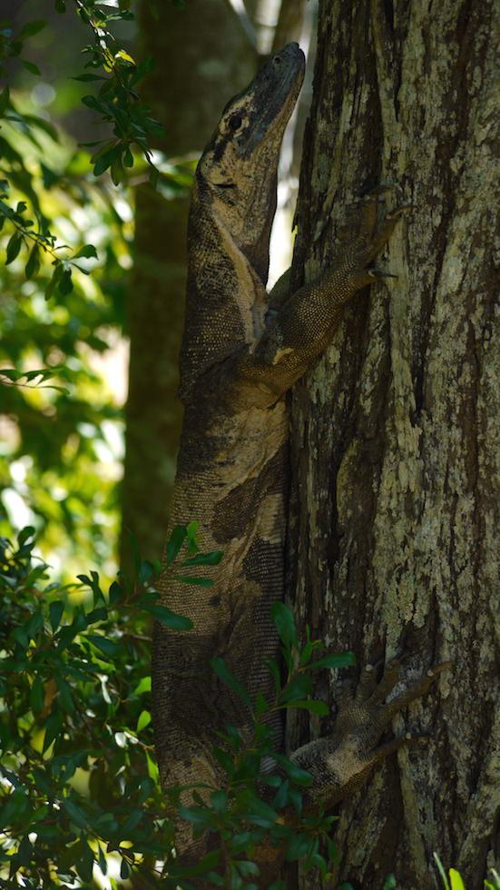 Lace Monitor Lizard Australia