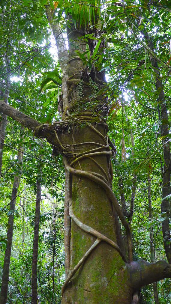 Junger Strangler Fig Tree - Würgefeige in North Queensland