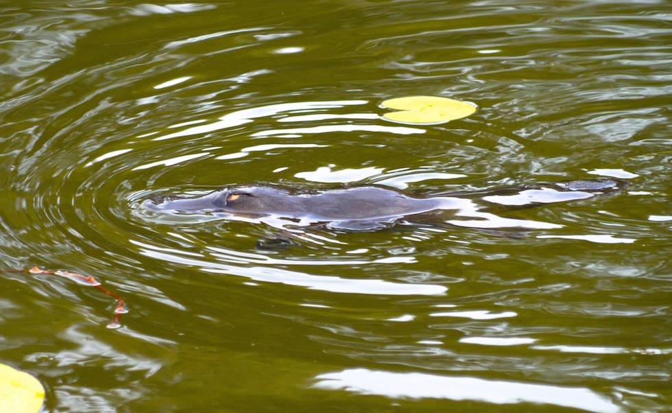 Schnabeltier oder Platypus in Australia