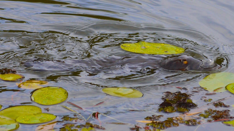 Platypus oder Schnabeltier - natural environment Australia