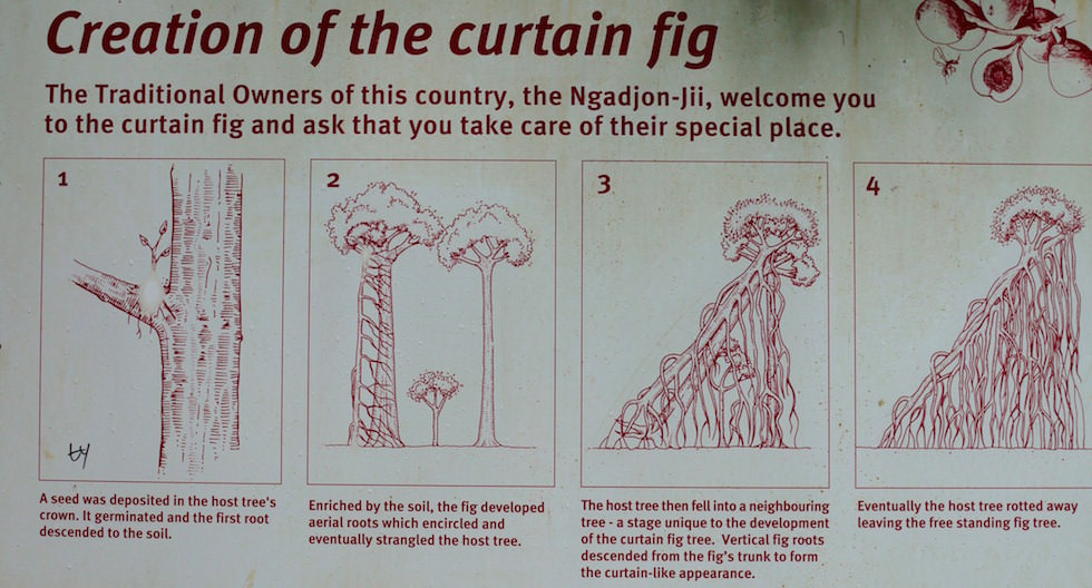 Creation of the curtain fig