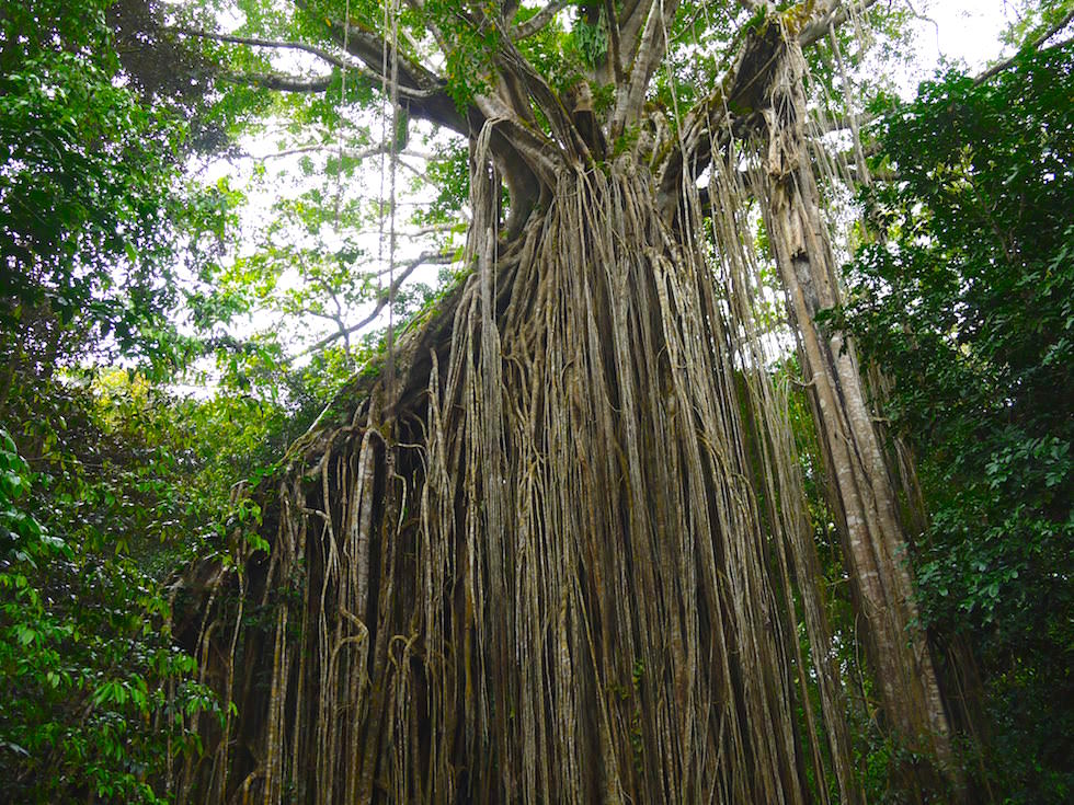 Stunning Curtain Fig Tree in Atherton Tablelands in North Queensland