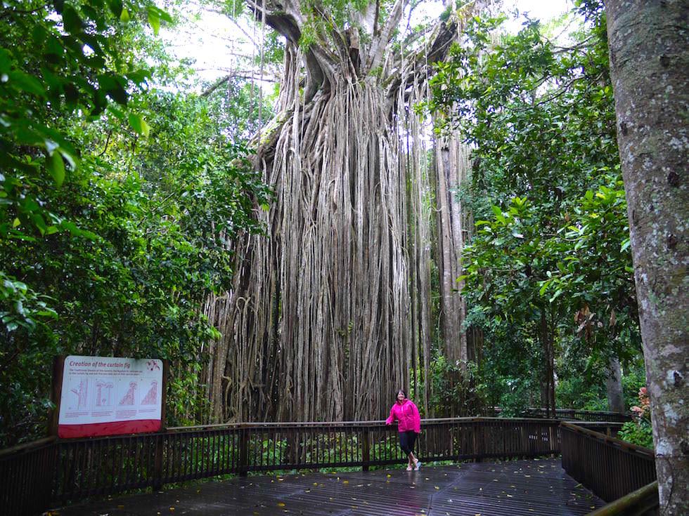 Größenvergleich: einer der größten Bäume - Curtain Fig Tree in den Atherton Tablelands nahe Cairns - Queensland