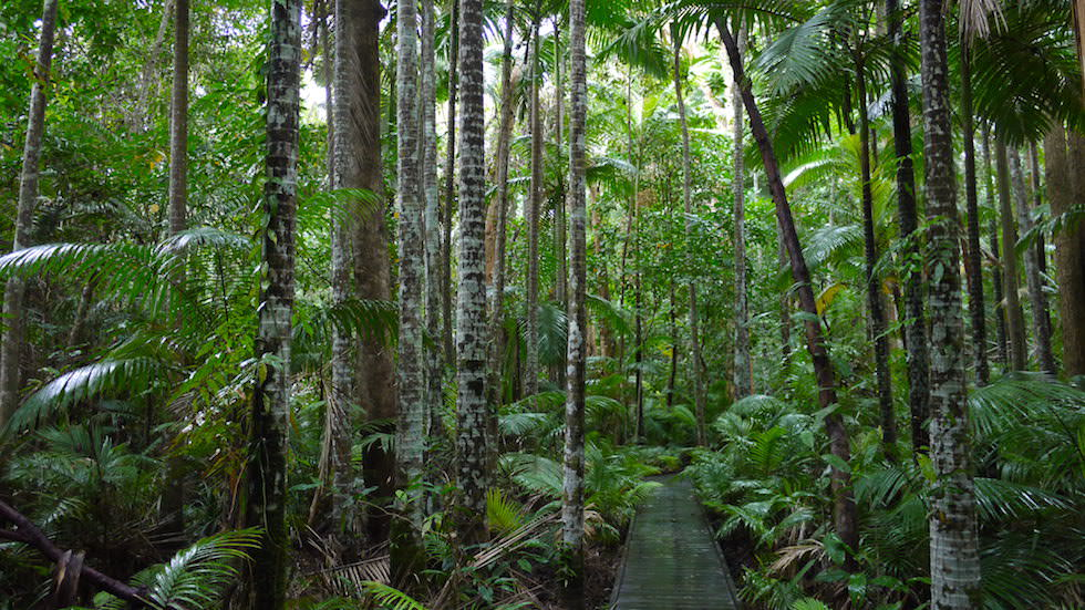 Daintree Rainforest & National Park - Wanderwege im Regenwald - Queensland