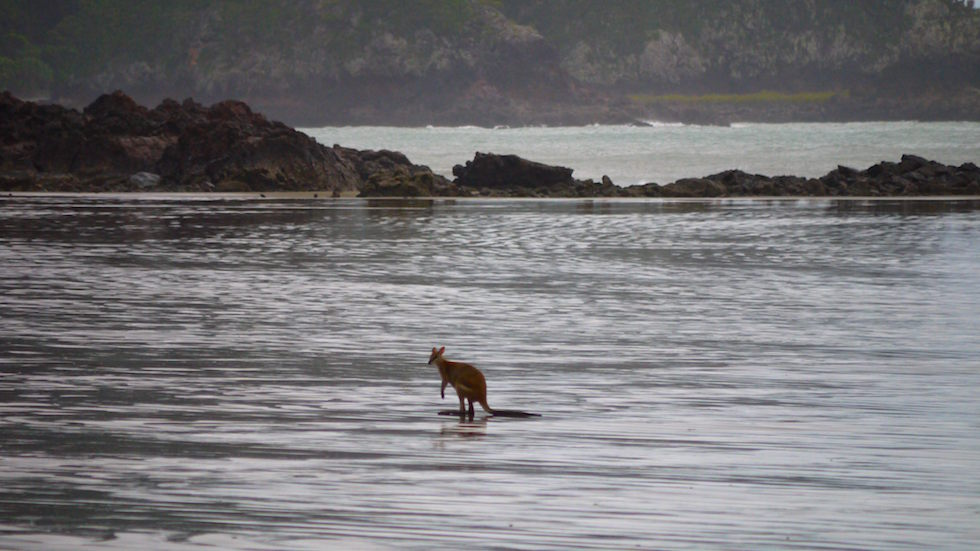 kangaroo in the ocean - cape hillsborough - North Queensland