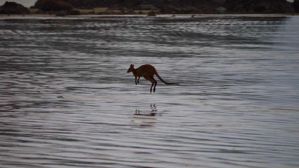 kangaroo in the ocean - cape hillsborough - Queensland