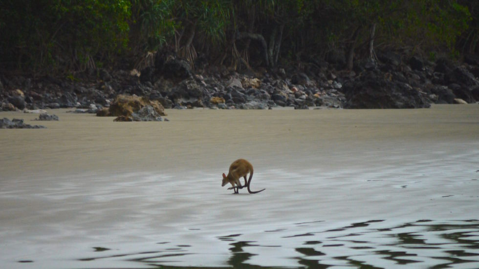 kangaroo at cape hillsborough - North Queensland