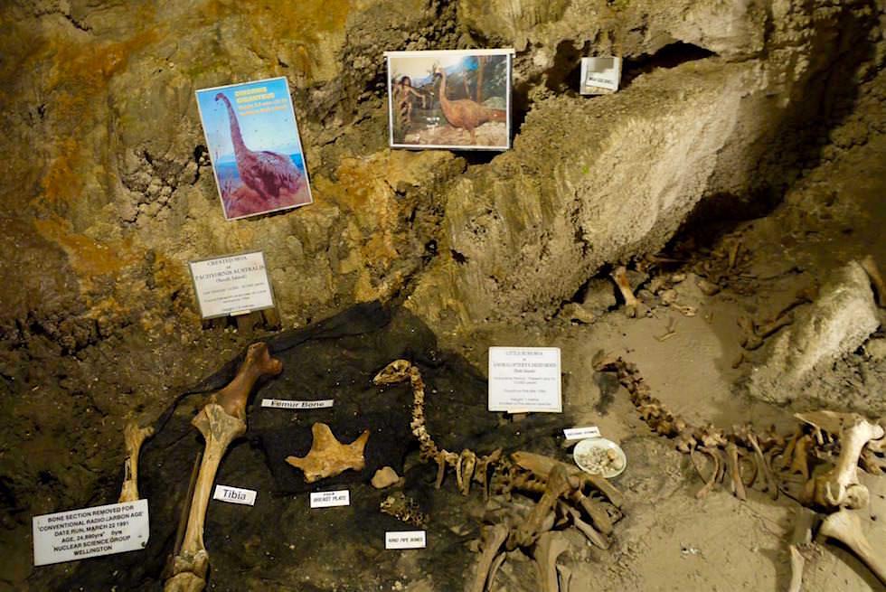 Moa Skelett Ngarua Caves - Takaka Hill - Neuseeland