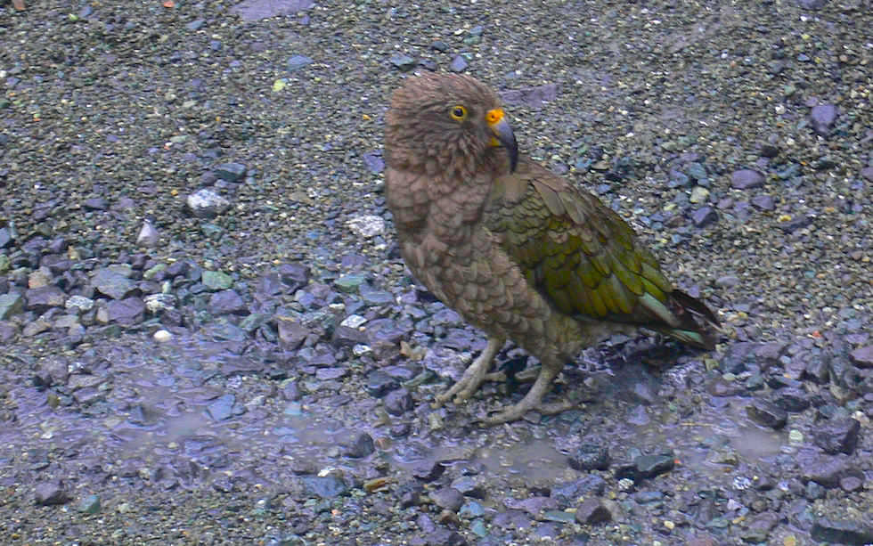 Mountain Kea New Zealand