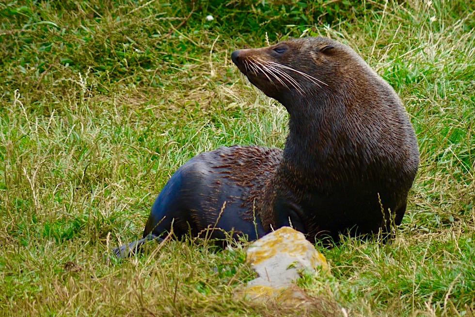 Unterschied Seebären & Seelöwen: Cape Palliser - Neuseeländische Seebären - Nordinsel, Neuseeland