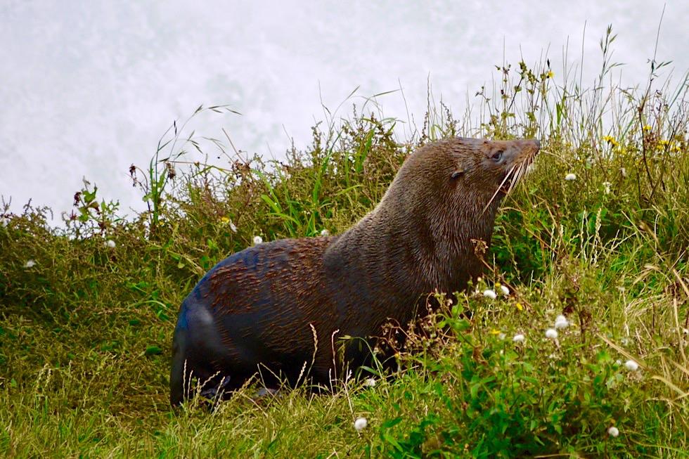 Cape Palliser - Neuseeland Seebären & größte Kolonie auf der Nordinsel - Neuseeland