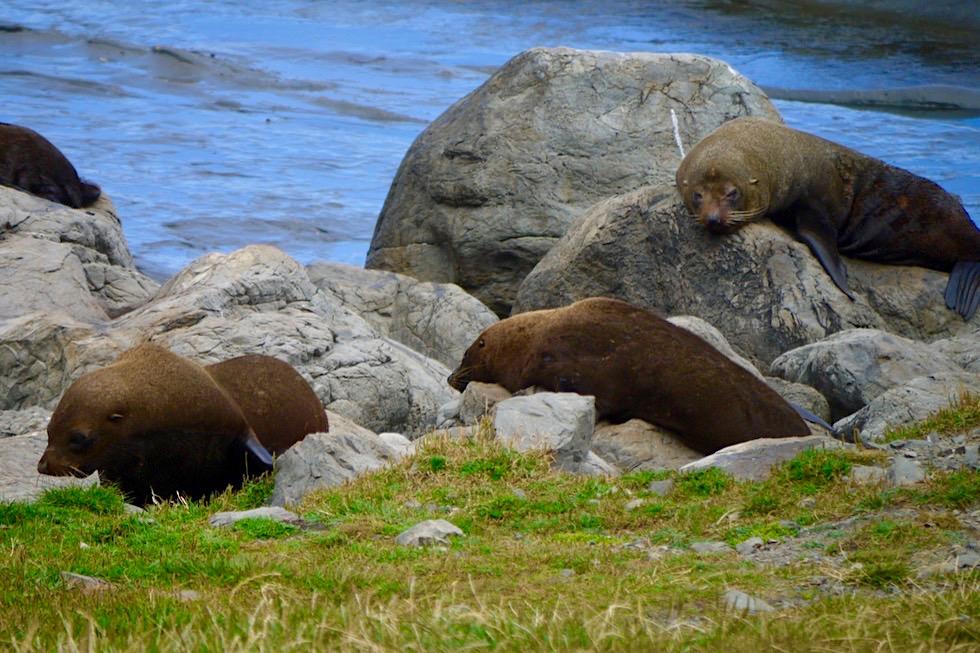 Cape Palliser - größte Robben- bzw. Seebären-Kolonie - Nordinsel, Neuseeland