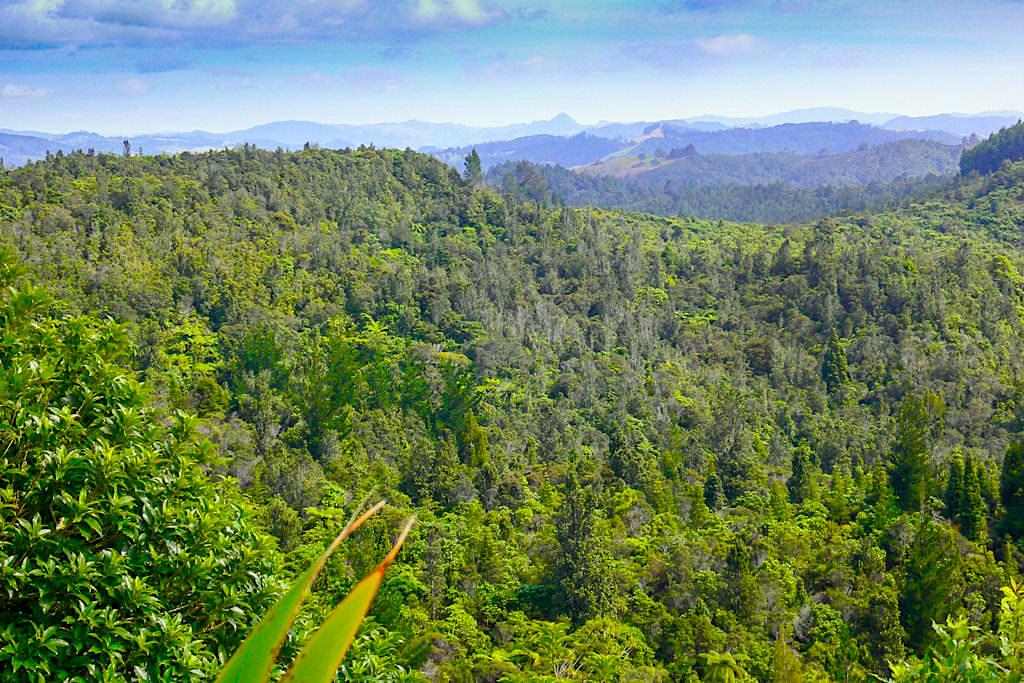 Coromandel Peninsula - Subtropischer Regenwald im Innern der Halbinsel - Nordinsel, Neuseeland