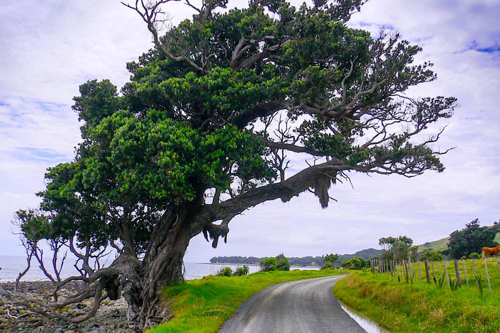 Port Jackson Road: Bäume werden von heftigen Winden gebogen - Coromandel Peninsula - Nordinsel, Neuseeland