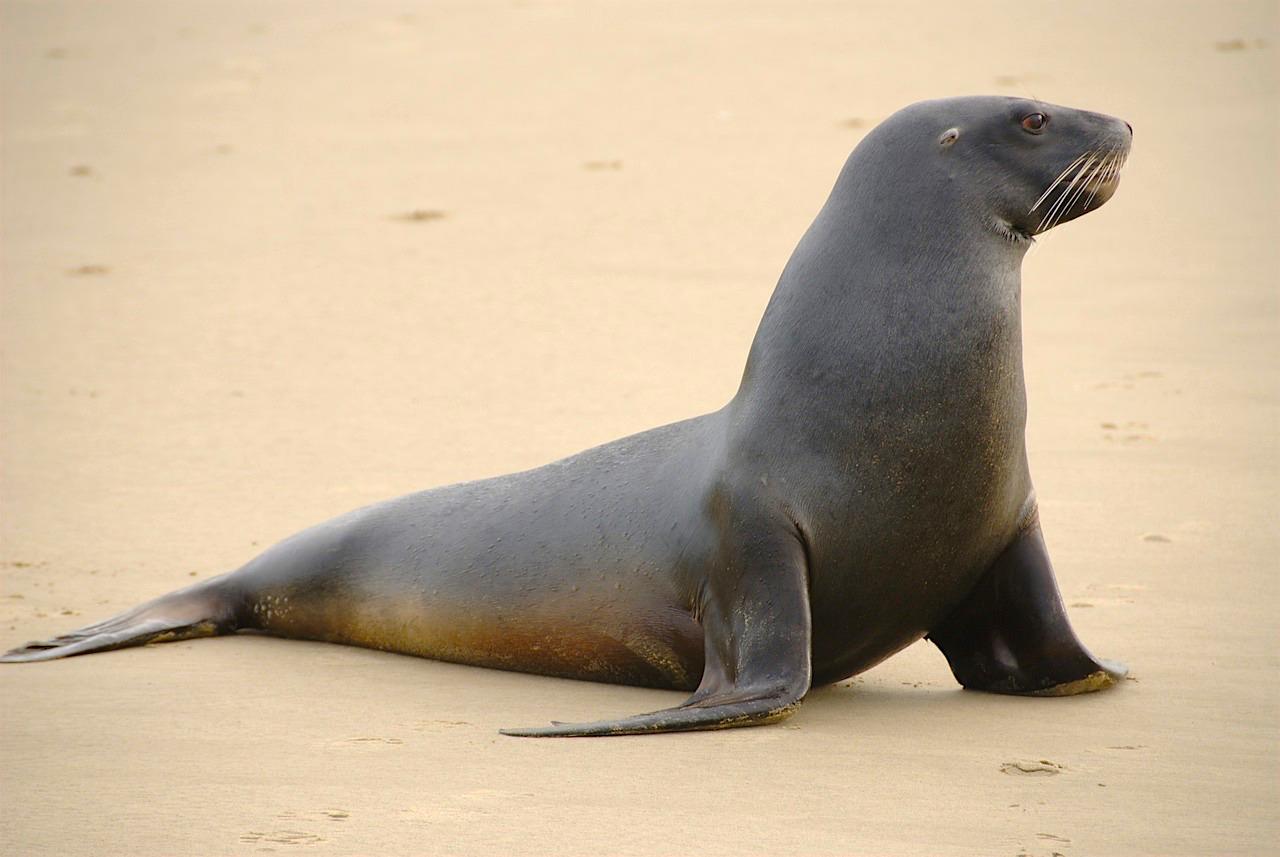 Unterschied Seehunde Seelöwen Seebären: Neuseeländischer Seelöwe am Strand einer vorgelagerten Insel - Südinsel, Neuseeland