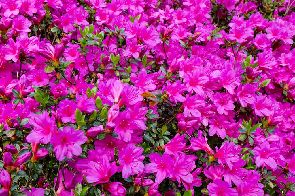 Blütenmeer im Garten der Villa Carlotta - Azaleen & Rhododendren Garten - Comer See - Lombardei, Italien