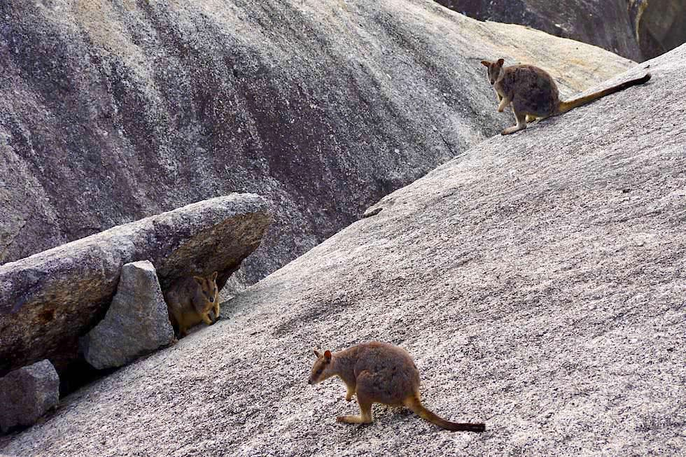 Granite Gorge Nature Park - Rock Wallabies & Felslandschaft - nahe Cairns bei Queensland