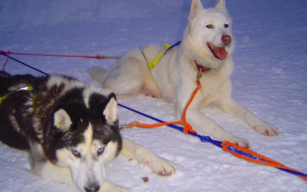 Husky an Tugline - Husky Abenteuer Lappland