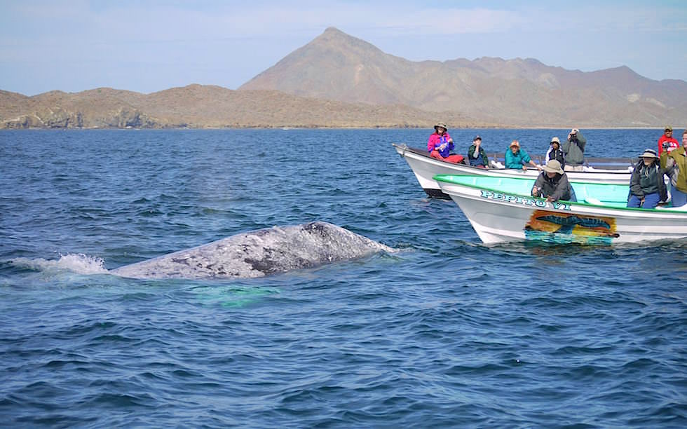 Bahia Magdalena Baja California Whale Watching