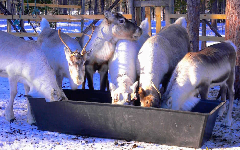Rentiere im Gehege Lappland - Schweden