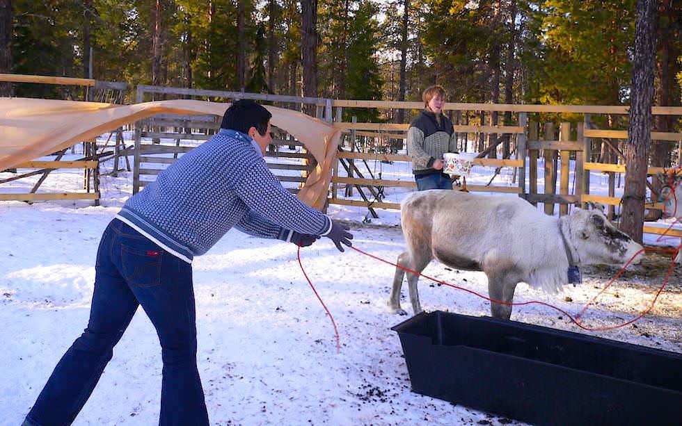 Lappland Rentiere mit Lasso fangen
