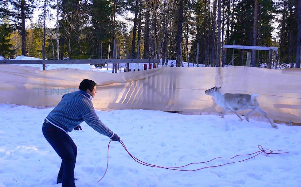 Lappland Versuch Rentiere mit Lasso fangen