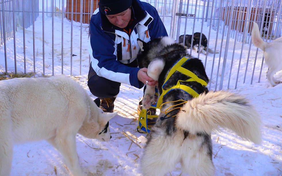 Husky Abenteuer: Schlittentour in Schwedisch Lappland - Hundegeschirr anziehen will gelernt sein